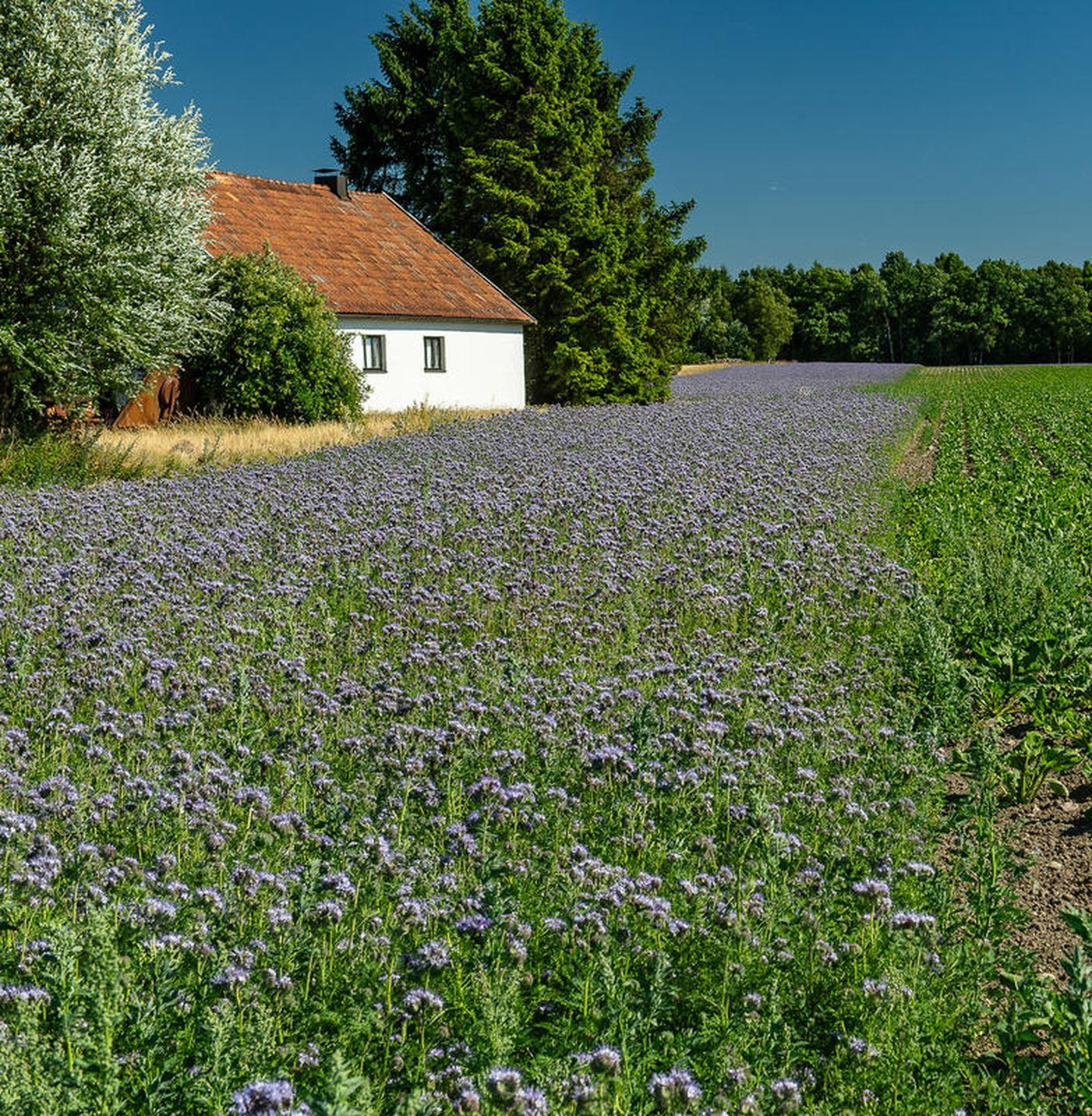 Lacy phacelia (Phacelia tanacetifolia). Sown at the edge of a field to promote biodiversity.