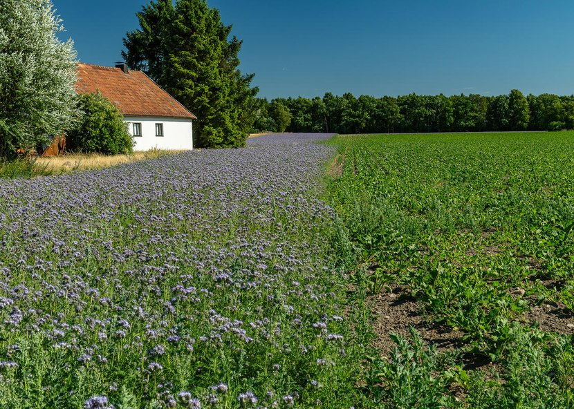Lacy phacelia (Phacelia tanacetifolia). Sown at the edge of a field to promote biodiversity.
