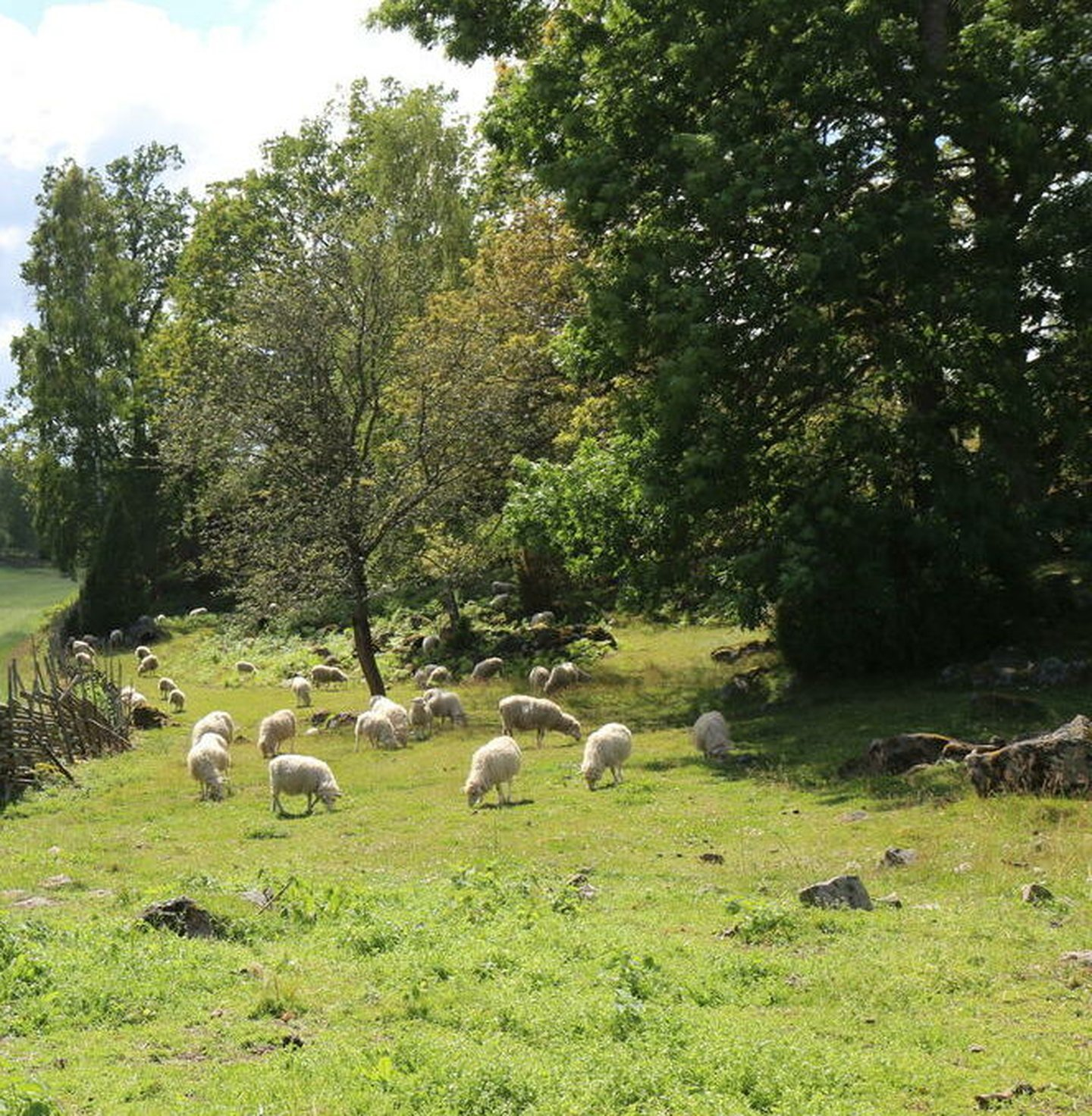 Sheeps (Ovis aries) grazing in a field in Sweden, with old traditional fences called
