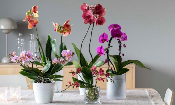 Pynt opp høsten med vakre og dekorative orkidéer.
