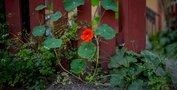 Grönska och blomster i varje hörn