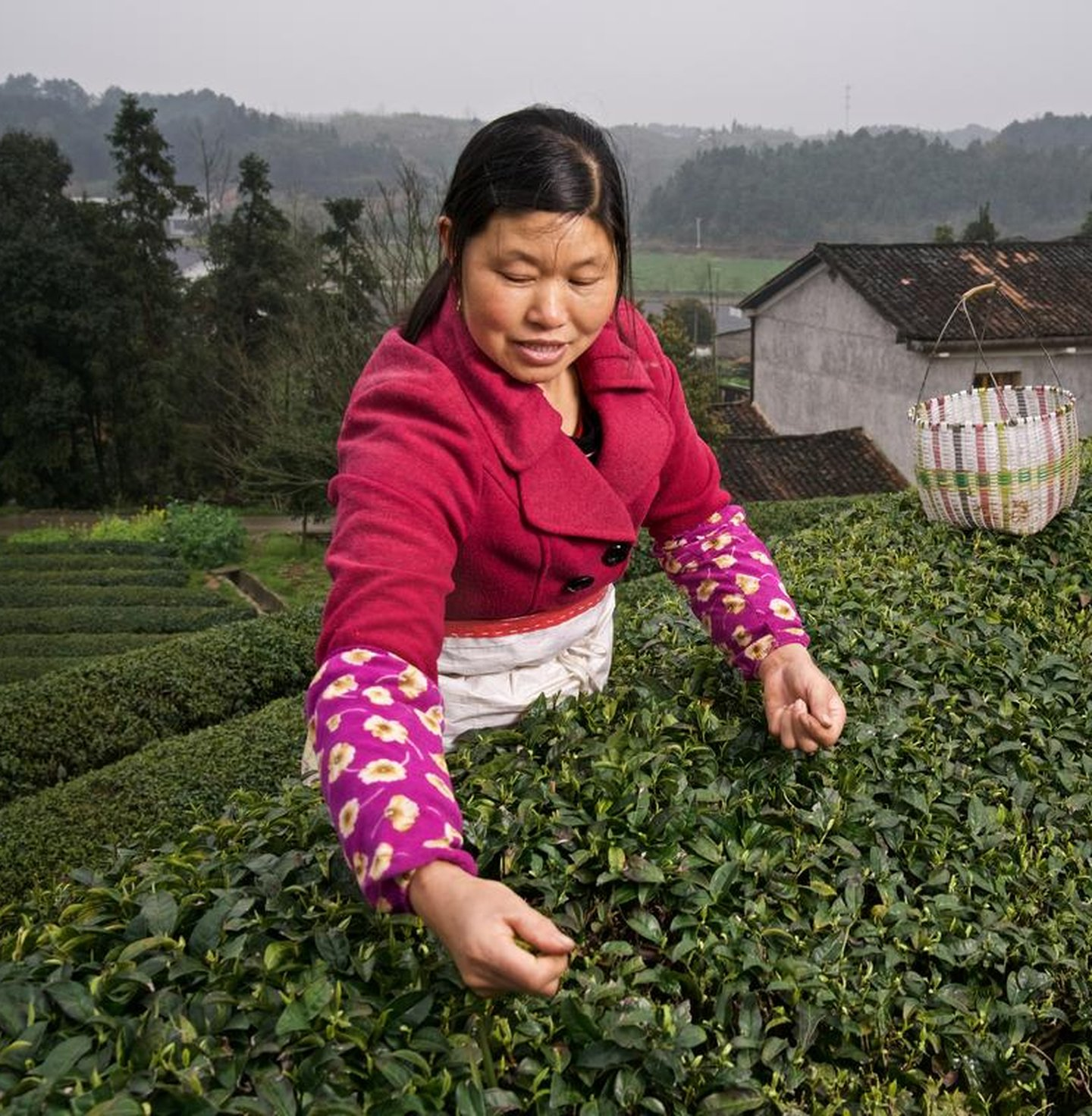 Organic tea picking at the Jinjing tea plantation in Hunan province, China. Jinjing tea is a project recognized by WWF.